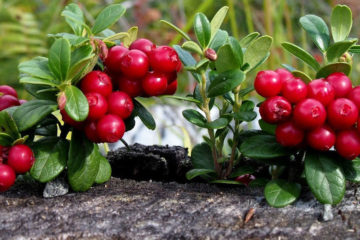 Lingonberry against stress