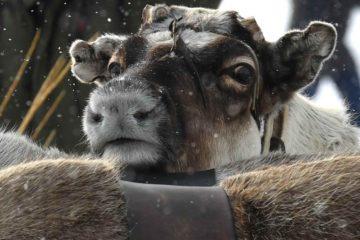 Domestic reindeer number to increase