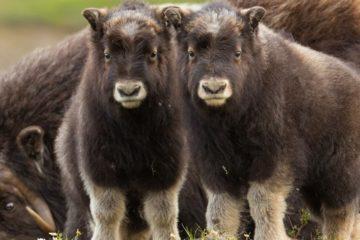 Musk ox farm to appear in Taimyr