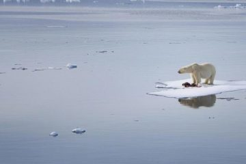 Polar bears number stabilizes in Arctic