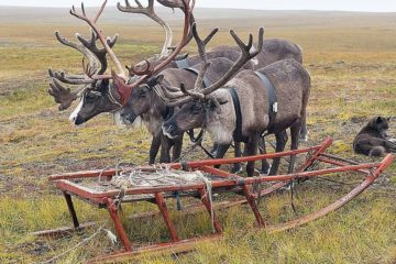 Young deer chipped in Taimyr