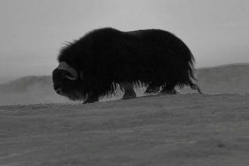 In 1978, musk oxen were born on Taimyr