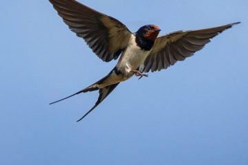 Swallows flew to Arctic