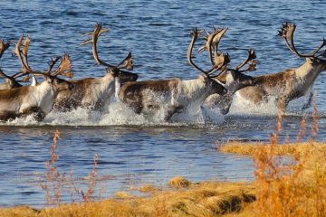 It is time to count reindeer