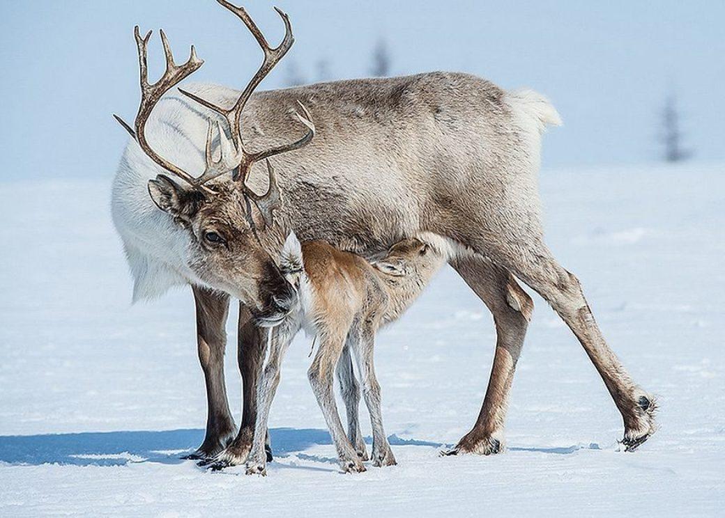 Specialists told how reindeer migrate