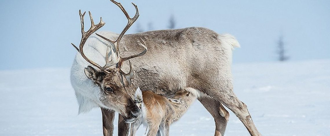Specialists told how reindeer migrate