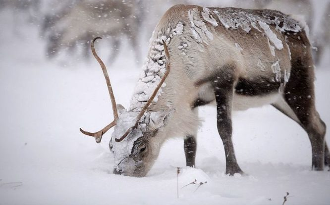 Reindeer to be counted from helicopter