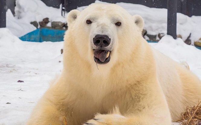 Norilsk bear turned into beauty