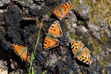 Butterflies from Taimyr brought to Novaya Zemlya