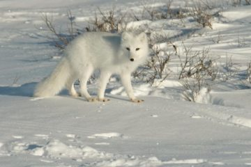 Arctic fox traveler escaped from scientists to Taimyr