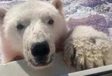 Bear cub rescued in north of Siberia