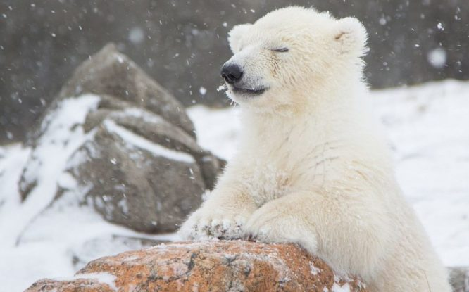 Film about polar bears made in Arctic