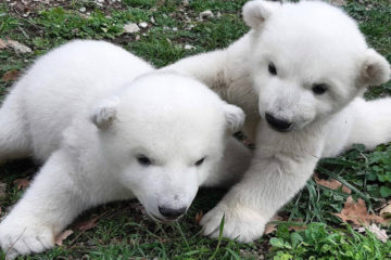 Krasnoyarsk polar bear cubs named