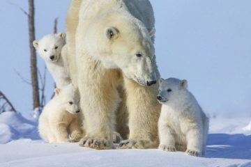 Polar bear season starts in Arctic