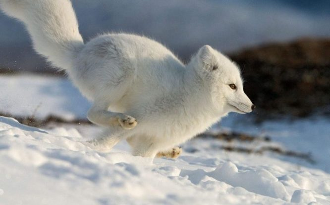 Northern city to tell polar fox story