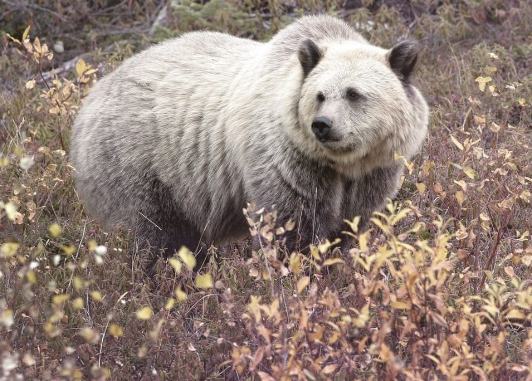 Grizzly and polar bear hybrid appeared in the North