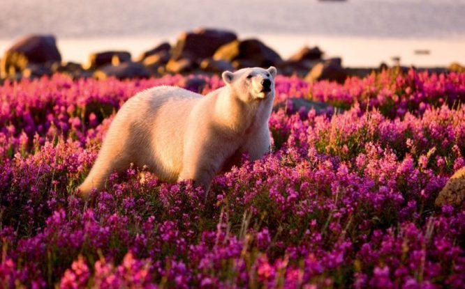 Scientists to calculate polar bears population
