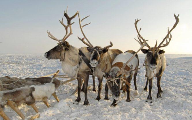 Hatanga reindeer herders sound alarm