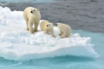 Scientists studied female bears' behavior in Franz Josef Land