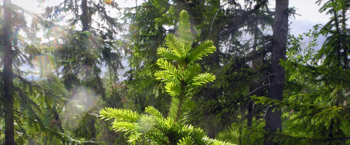 Forest census started in two Taimyr reserves