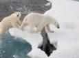 Norilsk residents can choose names for two polar bears