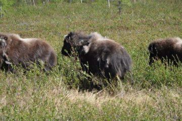 Yamal musk oxen met first summer in Taimyr
