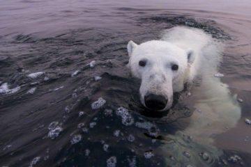 Polar bears' last refuge begins to melt