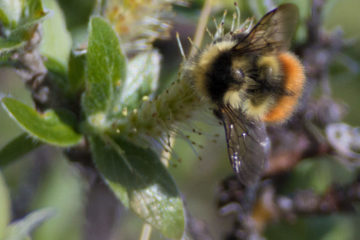 World's second glacial bumblebee population discovered in Arctic