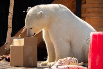 Film about Norilsk bear won international festival award