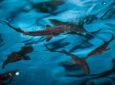 200 thousand sturgeon fry released into Yenisey
