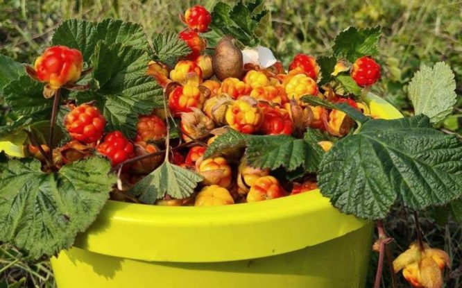 First cloudberries harvested in Taimyr