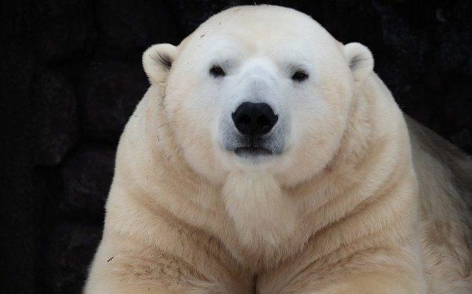 Royev Ruchey bears get ready for hibernation