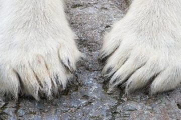 Orphaned polar bear found in Dikson