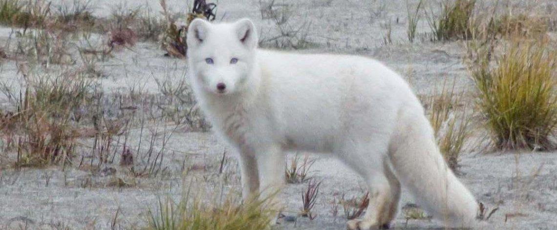 Albino arctic fox ran 250 kilometers and settled next to evil spirits